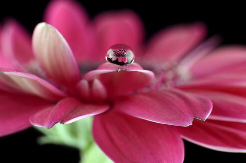 Water drop with reflection on petal of pink gerbera, Asteraceae, close-up - MJO000356