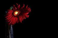 Wet red gerbera, Asteraceae, in front of black background - MJOF000359