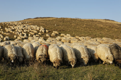 Rumania, Transylvania, Salaj County, flock of sheep, Ovis orientalis aries, grazing on willow - GF000477