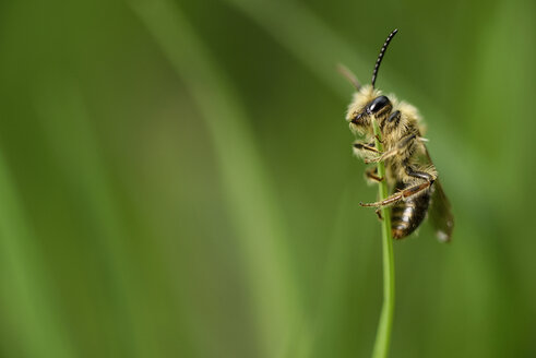 Miner bee, Andrena, hanging at blade of grass in front of green background - MJOF000393