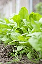 Row of young spinach plants in a vegetable garden - HAWF000192