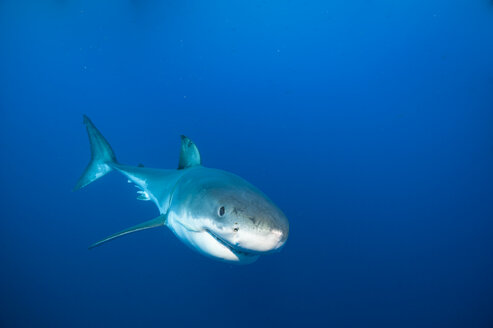 Mexico, Guadalupe, Pacific Ocean, white shark, Carcharodon carcharias - FGF000001