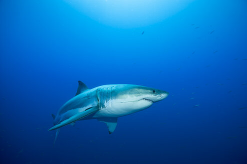 Mexico, Guadalupe, Pacific Ocean, white shark, Carcharodon carcharias - FGF000002