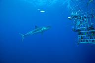Mexico, Guadalupe, Pacific Ocean, scuba divers in shark cage photographing white shark, Carcharodon carcharias - FG000015