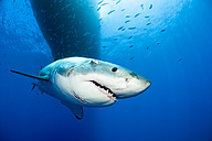 Mexico, Guadalupe, Pacific Ocean, portrait of white shark, Carcharodon carcharias - FGF000017