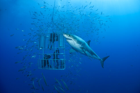 Mexico, Guadalupe, Pacific Ocean, three scuba divers in shark cage photographing white shark, Carcharodon carcharias - FG000026