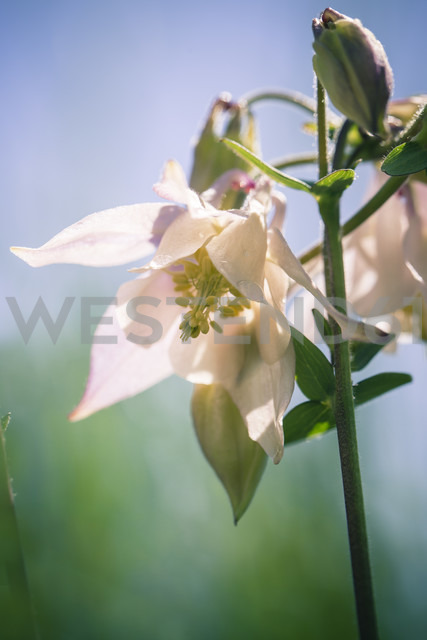 Germany, Bavaria, Common columbine, Aquilegia vulgaris, white - SARF000644