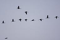 Row of cranes, Grus grus, flying in front of sky - PAF000665