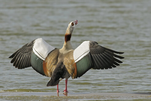 Germany, Schleswig-Holstein, North Frisia, Egyptian goose, Alopochen aegyptiacus, with spread wings at waterside - HACF000134