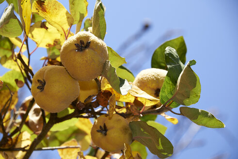 Quinces, Cydonia oblonga, hanging on tree - SRSF000494