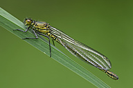 Red-eyed damselfly, Erythromma najas, sitting on blade of grass in front of green background - MJOF000402