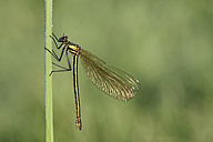 Banded demoiselle, Calopteryx splendens, hanging at blade of grass in front of green background - MJOF000405
