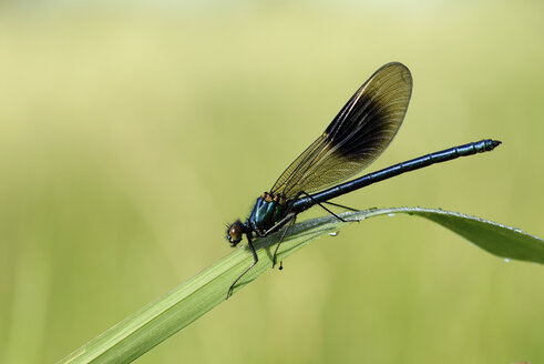 Banded demoiselle, Calopteryx splendens, sitting on grass in front of green background - MJOF000410