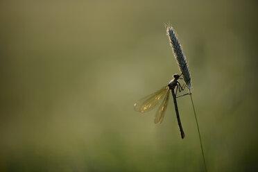 Banded demoiselle, Calopteryx splendens, hanging at grass - MJOF000412