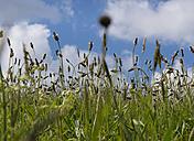 France, Bretagne, Cap Sizun, flower meadow in spring - JBF000117