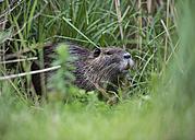 France, Provence Alpes Cote d'Azur, Camargue, Eurasian beaver, Castor fiber, eating grass - JBF000121