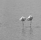 France, Provence Alpes Cote d'Azur, Camargue, two sleeping flamingos, Phoenicopterus roseus - JBF000125