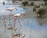 France, Provence Alpes Cote d'Azur, Camargue, two flamingos, Phoenicopterus roseus, walking through marshy landscape - JBF000128