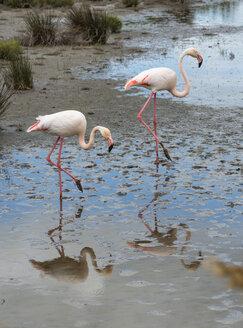 France, Provence Alpes Cote d'Azur, Camargue, two flamingos, Phoenicopterus roseus, walking in marshy landscape - JBF000131