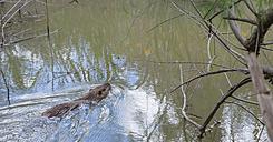 France, Provence Alpes Cote d'Azur, Camargue, swimming Eurasian beaver, Castor fiber - JBF000132