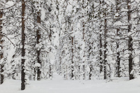Scandinavia, Finland, Kittilaentie, Forest, Snow-covered trees in wintertime - SR000532