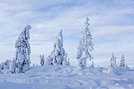 Scandinavia, Finland, Rovaniemi, Trees in wintertime - SR000535