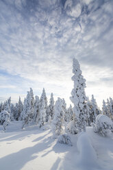 Scandinavia, Finland, Rovaniemi, Forest, Trees in wintertime against the sun - SR000539