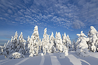 Scandinavia, Finland, Rovaniemi, Trees in wintertime - SR000541