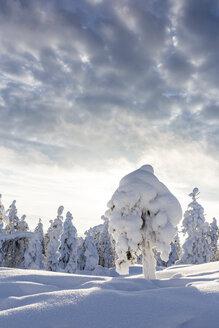 Scandinavia, Finland, Rovaniemi, Trees in wintertime - SR000543
