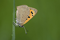 Small copper, Lycaena phlaeas, hanging at blade of grass - MJOF000424
