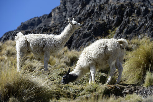 South America, La Paz Department, Altiplano, Llamas grazing - FLKF000276