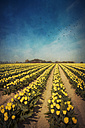 Yellow tulip field, alienation - DWI000079