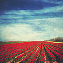 Red tulip field, alienation - DWI000081