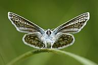 England, Common Blue, Polyommatus Icarus - MJOF000429