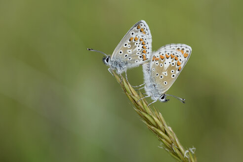England, Two Brown Argus, Aricia agestis, two butterflies sitting on a ear - MJOF000432