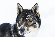 Finland, Rovaniemi, portrait of husky in front of white background - SR000553