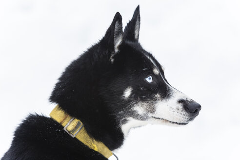 Finland, Rovaniemi, portrait of husky with blue eye in front of white background - SR000554