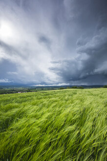 Germany, Baden-Wuerttemberg, Constance district, barkley field at Hegau by storm - ELF001048