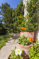 Citrus, poppies, Papaver, and common jasmine, Jasminum officinale, planted in clay pots standing in sunny garden - WDF002503