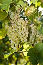 Green grapes, Vitis vinifera, close-up - AMF002319