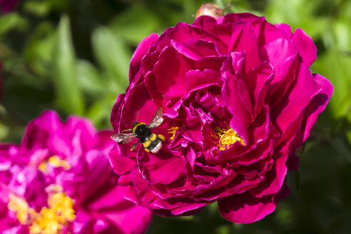 Germany, Hesse, Pink peony, Paeonia, and Buff-tailed bumblebee, Bombus terrestris - WEF000127
