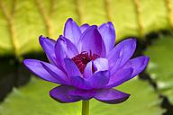 UK, London, Kew, Royal Botanic Gardens, Kew Gardens, violet water lily - WEF000129