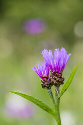 Two blossoms of violet cornflower, Centaurea cyanus, in front of green background - SRF000567