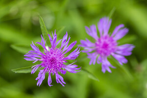 Two blossoms of violet cornflower, Centaurea cyanus, in front of green background, elevated view - SRF000568