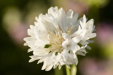Blossom of white cornflower, Centaurea cyanus - SRF000580