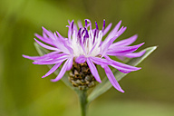 Blossoms of pink cornflower, Centaurea cyanus, in front of green background - SRF000582