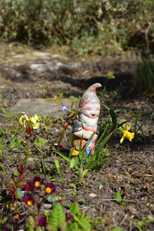 Old garden gnome standing behind a daffodils, Narcissus pseudonarcissus - AXF000686