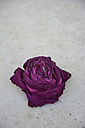 Withered blossom of a rose on concrete - AXF000689
