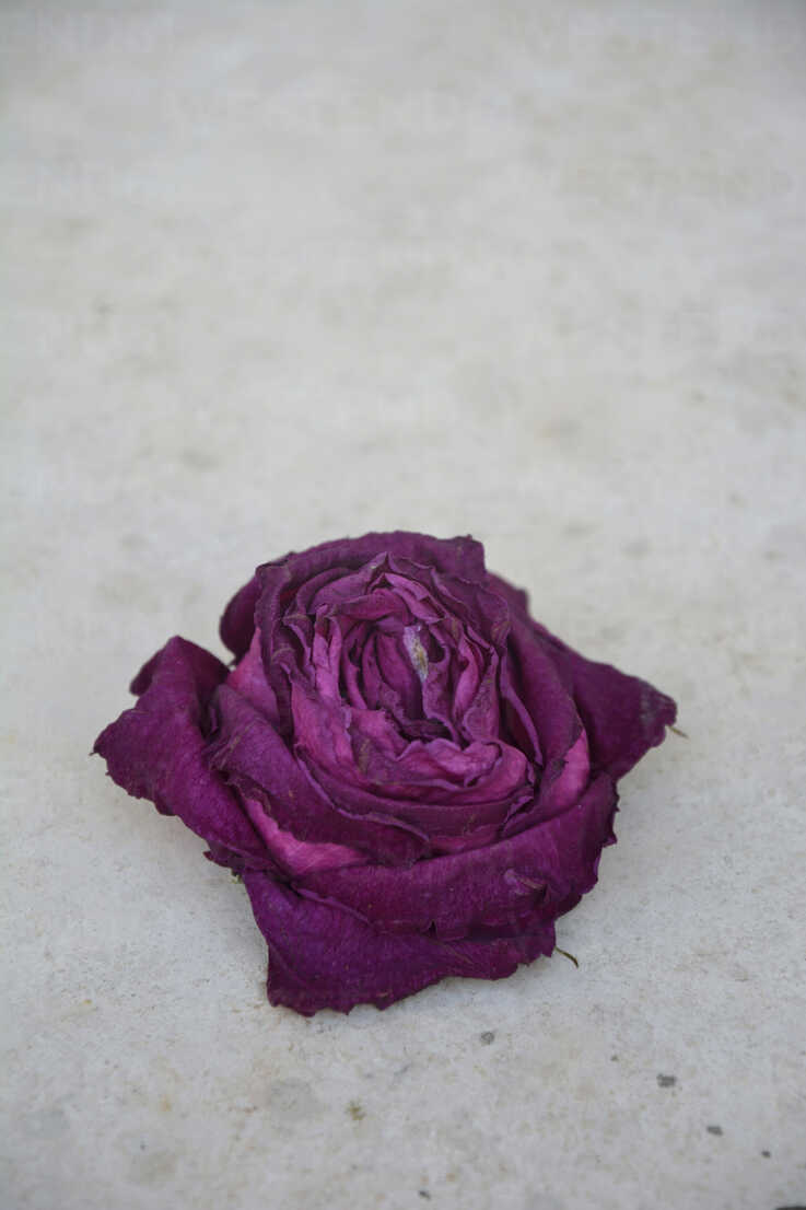 Withered blossom of a rose on concrete - AXF000689 - Axel Ganguin/Westend61