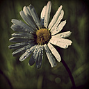Germany, North Rhine-Westphalia, Marguerite with water drops, Leucanthemum - HOHF000851